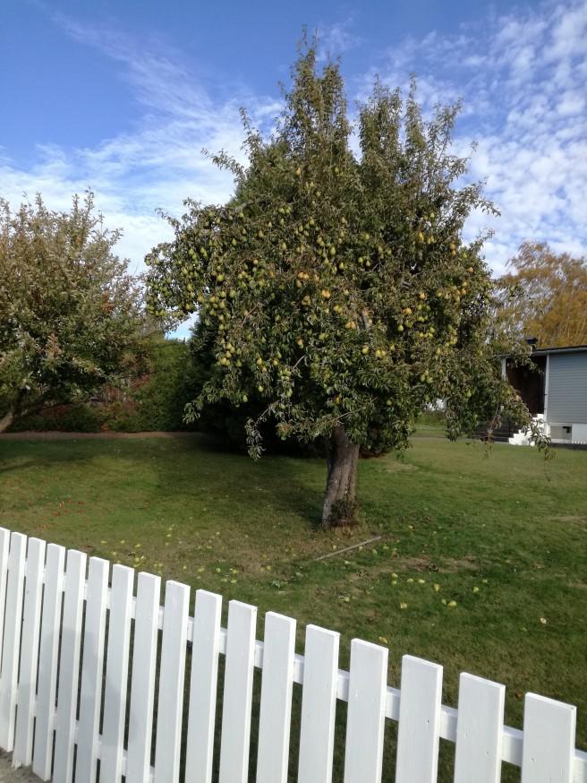 Norwegischer Garten mit prächtigem Birnenbaum.